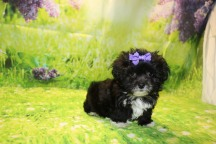 Porscha Female CKC Malshipoo $1750 Ready 9/3 SOLD MY NEW HOME JACKSONVILLE, FL 2.1lb 8W6D Old