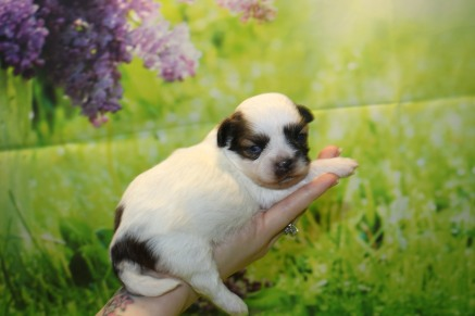 Beau Male CKC Shihpoo $1750 Ready 10/24 AVAILABLE 13 oz 2 Weeks Old
