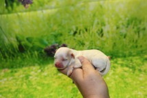 Boo Female CKC Shihpoo $1750 Ready 11/5 AVAILABLE 6.5 oz 7 Hours Old