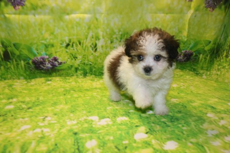 Snickerdoodle Male CKC Malshipoo $2000 Ready 9/17 AVAILABLE 1.12LB 7W3D OLD