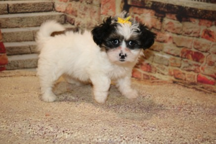 Baby Doll Female Teddy Bear A/K/A Shichon $1750 Ready 10/18 AVAILABLE 2.8LB 7W3D OLD