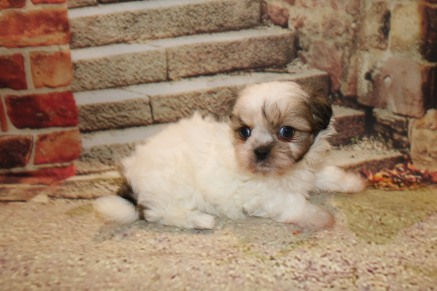 Beau Male CKC Shihpoo $1750 Ready 10/24 AVAILABLE 1.6LB 6W4D OLD