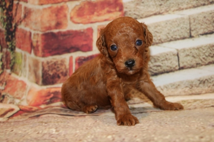 Blaze Male CKC Mini Labradoodle $2000 Ready 11/13 HAS DEPOSIT MY NEW HOME MARIETTA, GA 1 LB 6.5 oz 4W1D Old