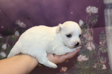 Buttercup Male CKC Havanese $1750 Ready 11/8 AVAILABLE 14.4 oz 3 Wks Old