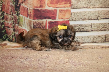 Buttons (Roo) Female CKC Shihpoo $1750 Ready 10/24 SOLD MY NEW HOME FERNANDINA BEACH, FL 1.3LB 6W4D OLD