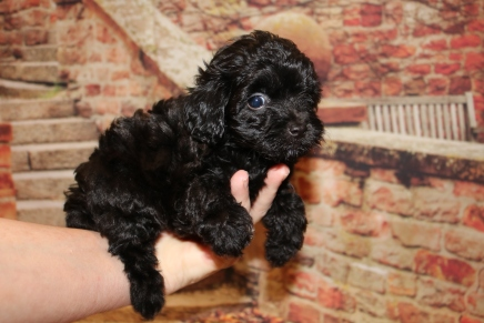 Chase Male CKC Maltipoo $1750 Ready 11/2 HAS DEPOSIT MY NEW HOME ORLANDO, FL 1 Lb 7 oz 6W4D Old