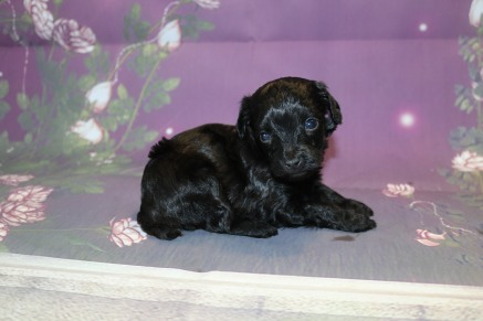 Chase Male CKC Maltipoo $1750 Ready 11/2 AVAILABLE 1 Lb 3 oz 3W5D Old