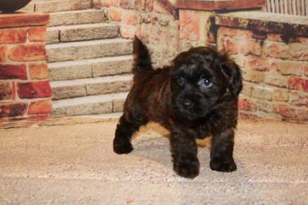Chestnut Male CKC Morkipoo $2000 Ready 10/22 SOLD MY NEW HOME HASTINGS, FL 2.8LB 7W OLD