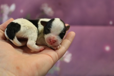 Daisey Female CKC Yorkipoo $2000 Ready 11/27 HAS DEPOSIT MY NEW HOME JACKSONVILLE, FL 4.3 oz 1 Day Old