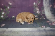 Dory Female CKC Maltipoo $1750 Ready 11/2 HAS DEPOSIT MY NEW HOME GAINESVILLE, FL 1.4 lbs 3W2D Old
