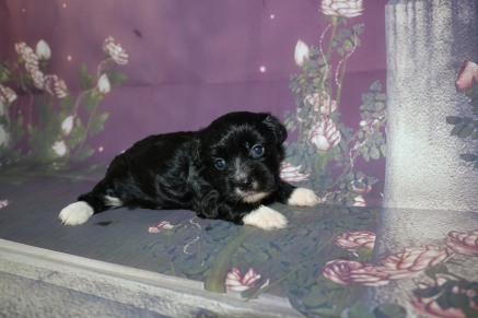 Dr Pepper Male Teddy Bear A/K/A Shichon $1750 Ready 11/1 AVAILABLE 1.11LB 3W5D OLD