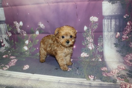 Hamilton (Simon) Male CKC Yorkipoo $2000 Ready 10/3 SOLD MY NEW HOME PALM COAST, FL 1.8LB 7W4D OLD