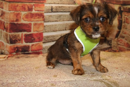 Kona Male CKC Shorkie $1750 Ready 10/10 SOLD MY NEW HOME PHOENIX, NY 3.8LB 8W4D OLD
