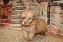 Lilo female CKC Malshipoo $2000 Ready 11/5 HAS DEPOSIT MY NEW HOME CA 15.6 oz 6W3DOld