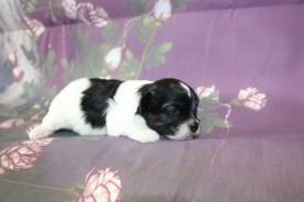Lucy Female CKC Havapoo $1750 Ready 11/9 HAS DEPOSIT 2W2D OLD