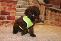 Marlin Male CKC Maltipoo $2000 Ready 11/2 HAS DEPOSIT MY NEW HOME MEXICO BEACH, FL 2lbs 1 oz 6W3D Old