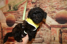 Marshall Male CKC Maltipoo $1750 Ready 11/2 HAS DEPOSIT MY NEW HOME JACKSONVILLE, FL 2.1LB 6W4D OLD