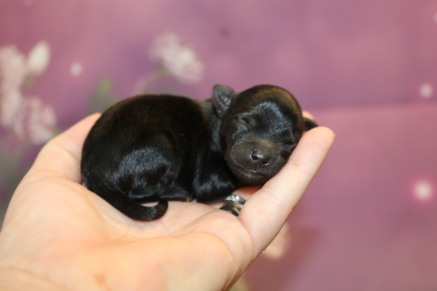 Minnie Female CKC Yorkipoo $2000 Ready 11/27 HAS DEPOSIT MY NEW HOME MARTINEZ, GA 4.1 oz 1 Day Old