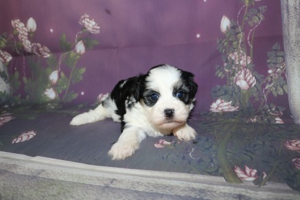 Pepsi Female Teddy Bear A/K/A Shichon $1750 Ready 11/1 HAS DEPOSIT MY NEW HOME ST JOHNS, FL 1.9LB 3W5D OLD
