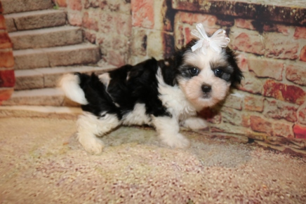 Pepsi Female Teddy Bear A/K/A Shichon $1750 Ready 11/1 SOLD MY NEW HOME ST JOHNS, FL 2.4lb 6w6d old