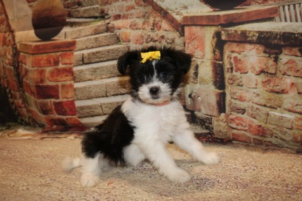 Pip Female CKC Miki $2000 Ready 10/12 AVAILABLE 2.7LB 8W2D OLD