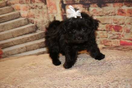 Pippi Female CKC Havapoo $1750 Ready 10/12 SOLD MY NEW HOME JACKSONVILLE, FL 1.10LB 7W3D OLD