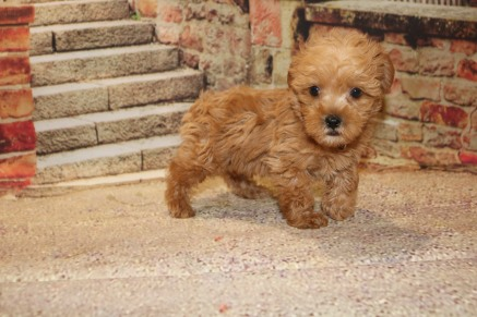 Pumpkin (Teddy) Male CKC Morkipoo $2000 Ready 10/22 IHAS DEPOSIT MY NEW HOME ORANGE PARK, FL 1.15LB 7W OLD