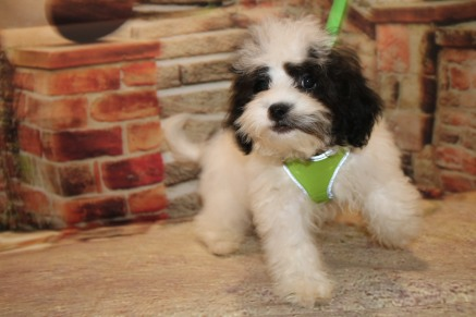 Ray Male CKC Shihpoo $1750 WITH ALL HIS PUPPY VACCINES INCLUDING RABIES VACCINE Ready 8/30 SOLD MY NEW HOME JACKSONVILLE, FL 4.10lb 14W4D OLD