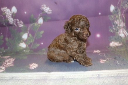 Ryder Male CKC Maltipoo $2000 Ready 11/2 AVAILABLE 1 Lb 6oz 3W5D Old