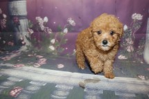 Season (Rusty) Male CKC Mini Labradoodle $2000 Ready 9/30 SOLD MY NEW HOME IS SEBRING, FL 1.10LB 8W2D OLD