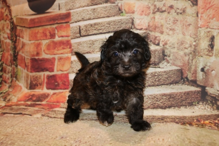 Sky Female CKC Maltipoo $1750 Ready 10/2 SOLD MY NEW HOME MIAMI, FL 1.8LB 6W4D OLD