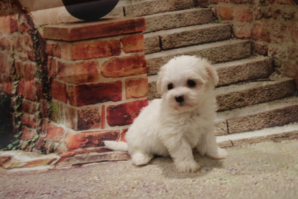 Sugar Female CKC Havanese $1750 Ready 11/8 HAS DEPOSIT MY NEW HOME JACKSONVILLE, FL 1.7LB 5W1D OLD