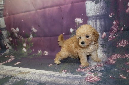 Summer Female CKC Mini Labradoodle $2000 Ready 9/30 HAS DEPOSIT 1.10LB 8W2D OLD