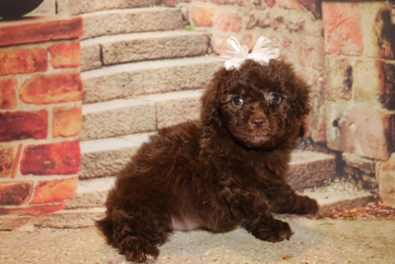 Wendy Female CKC Malshipoo $2000 Ready 11/5 SOLD MY NEW HOME LAKELAND, FL 1 lb 13 oz 6W3D Old