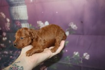 Amber Female CKC Mini Labradoodle $2000 Ready 11/13 AVAILABLE 12.5 oz 2 Wks Old