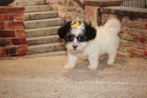 Baby Doll Female Teddy Bear A/K/A Shichon $1750 Ready 10/18 SOLD MY NEW HOME JACKSONVILLE FL 2.8LB 7W3D OLD