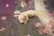 Bambino Male CKC Havanese $1750 Ready 11/22 AVAILABLE 5.1 oz 5 Days Old