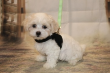 Casper Male CKC Maltipoo $1750 Ready 11/8 SOLD MY NEW HOME JACKSONVILLE, FL 2 lb 5 oz 8 Weeks Old