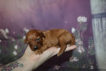 Cherry Female CKC Mini Labradoodle $2000 Ready 11/13 AVAILABLE 9.7 oz 2 Wks Old