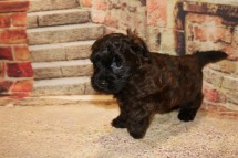 Chestnut Male CKC Morkipoo $2000 Ready 10/22 HAS DEPOSIT MY NEW HOME PLANTATION, FL 2.8LB 7W OLD