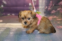 China Female CKC Shorkie $1750 Ready 10/10 HAS DEPOSIT MY NEW HOME ST JOHNS, FL 1.14LB 6W5D OLD