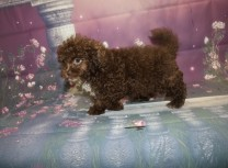 Chocolate Chip Male CKC Malshipoo $2000 JUST DISCOUNTED $1500 W/ ALL PUPPY VACCINES Ready 9/17 SOLD MY NEW HOME ROCKLEDGE, FL 3.13LB 10W2D OLD