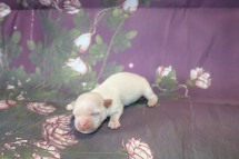 Dreamy Male CKC Havanese $1750 Ready 11/22 AVAILABLE 6.7 oz 5 Days Old