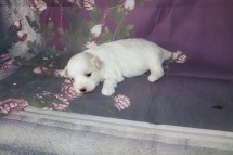 Ghost Male CKC Maltipoo $1750 Ready 11/8 AVAILABLE 1.6 lbs 2W5D Old
