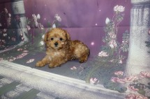 Hamilton (Simon) Male CKC Yorkipoo $2000 Ready 10/3 HAS DEPOSIT MY NEW HOME PALM COAST, FL 1.8LB 7W4D OLD