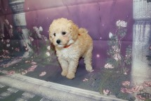 Harvest (Wembley) Male CKC Mini Labradoodle $2000 Ready 9/30 SOLD MY NEW HOME JACKSONVILLE, FL 2.7LB 8W2D OLD