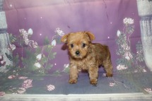 Jefferson (Elliott) Male CKC Yorkipoo $2000 Ready 10/3 SOLD MY NEW HOME ST AUGUSTINE, FL 1.8LB 7W4D OLD