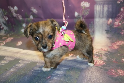 London Female CKC Shorkie $1750 Ready 10/10 HAS DEPOSIT MY NEW HOME ST JOHNS, FL 1.13LB 6W5DOLD