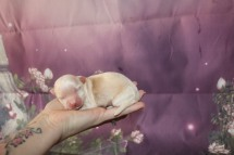 Luvy Duvy Male CKC Havanese $1750 Ready 11/22 AVAILABLE 6.9 oz 5 Days Old