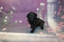 Marshall Male CKC Maltipoo $1750 Ready 11/2 AVAILABLE 1 Lb 5 oz 3W5D Old